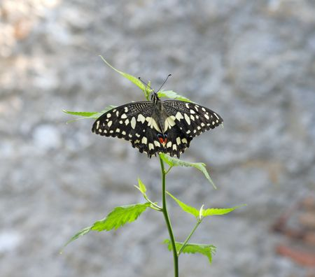 The Common Lime Butterfly (Papilio demoleus) is a common and widespread Swallowtail butterfly. Other names for the butterfly include the Lemon Butterfly, the Small Citrus Butterfly, the Chequered Swallowtail and the Dingy Swallowtail. photo