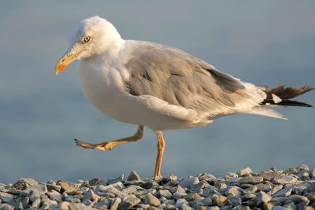 Caspian Gull is a name applied to the gull taxon Larus cachinnans, a member of the Herring Gull. Stock Photo - 5434423