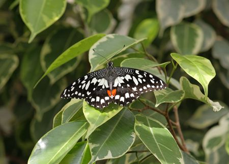 widespread: The Common Lime Butterfly (Papilio demoleus) is a common and widespread Swallowtail butterfly. Other names for the butterfly include the Lemon Butterfly, the Small Citrus Butterfly, the Chequered Swallowtail and the Dingy Swallowtail.