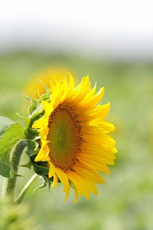 Field of bright yellow sunflowers Stock Photo - 5467604