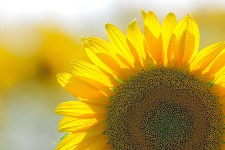 Field of bright yellow sunflowers Stock Photo - 5514515