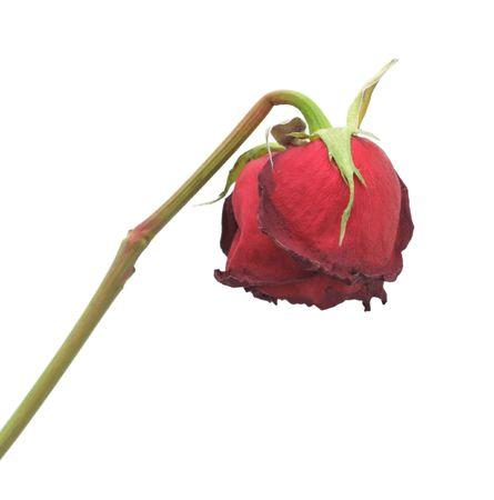 dode bladeren: Verschoten Rose, geïsoleerd op een witte achtergrond