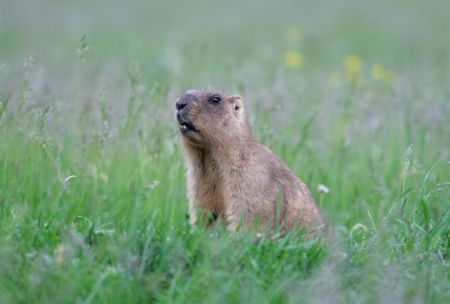 The bobak marmot (Marmota bobak), also known as the steppe marmot photo