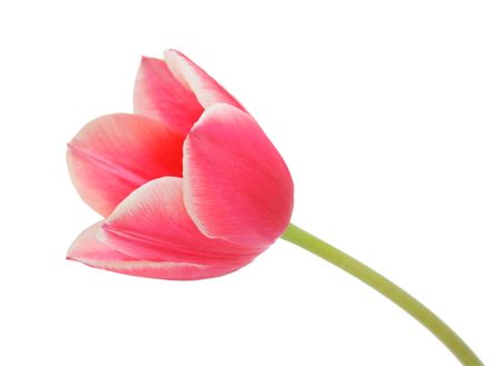Tulip, isolated on a white background photo