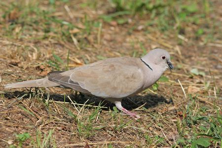 Collared Dove with food in it's beak Stock Photo - 7453652