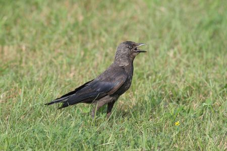 The Jackdaw (Corvus monedula, Eurasian Jackdaw, European Jackdaw, Western Jackdaw) is a dark-plumaged passerine bird in the crow family Stock Photo - 7486956