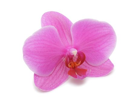 purple orchid: Orchid, isolated on a white background
