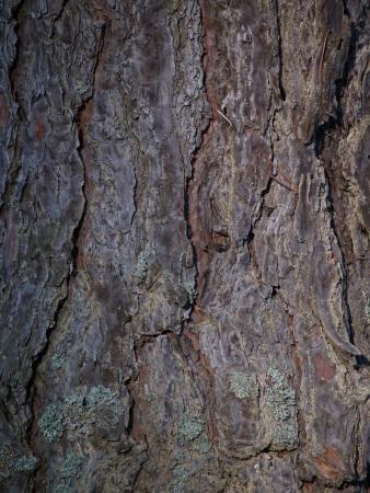 scab: Pine-tree cork