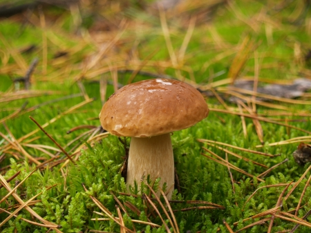 Boletus edulis with rain drops in the autumn forest photo