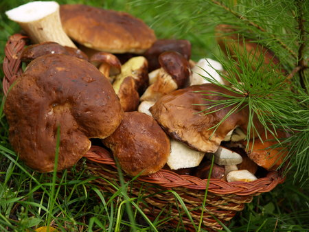 Basket with boletus edulis in the autumn forest photo