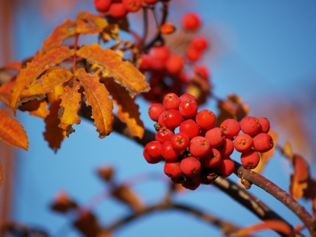 sorbus: Branch with red rowan berries on the blue sky background Stock Photo