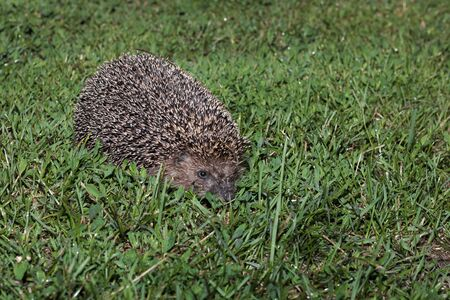 Hedgehog, wild animal with cute nose close up. Native European adult little hedgehog in green grass. Macro spines needles, ear, eye adorable hedgehog baby portrait in forest. Wildlife nature concept 写真素材