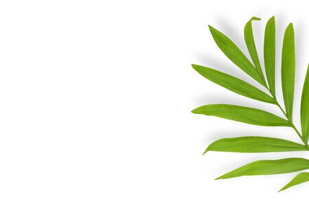 Tropical palm leaf chamaedorea with shadow on a white background. Bending sheet. Copy space