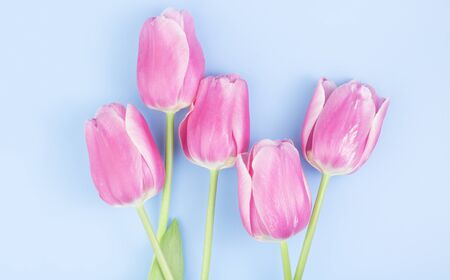 Bouquet of pink tulips on a blue background. Congratulation concept card for Womens Day, mothers day, spring flowers, banner, greeting. Copy space 版權商用圖片
