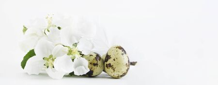 Quail eggs isolated on a white background, on the background of a branch of a bouquet with white flowers of an apple tree. Protein treat. Banner. Copy space