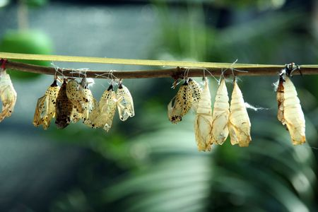 From a close cocoon the beautiful butterfly was liberated photo