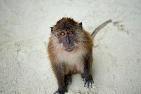Monkey waiting for food in Monkey Beach, Phi Phi Islands, Thailand Stock Photo