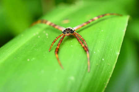 Long legs spider on a green leaf. Stock Photo