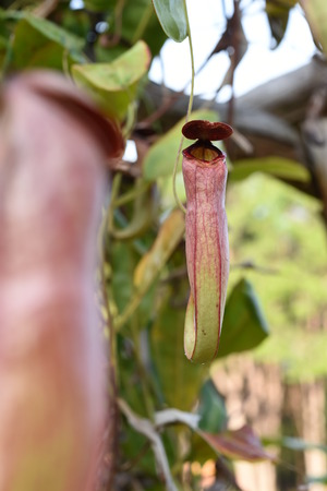Nepenthes or Monkey Cups photo
