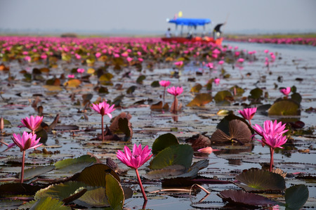 nympha: The sea of pink lotus, Udon Thani, Thailand Stock Photo