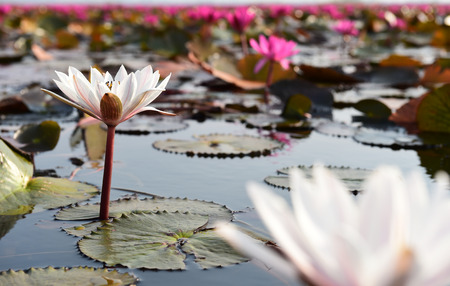 thani: white lotus in pink lotus sea, Udon Thani, Thailand