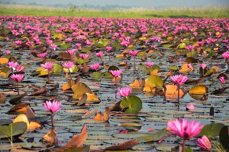 ピンク ロータス、ウドンタニ, タイの海 写真素材