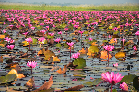 The sea of pink lotus, Udon Thani, Thailand Imagens
