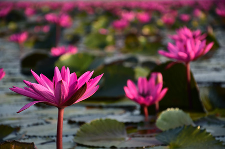 The sea of pink lotus, Udon Thani, Thailand photo