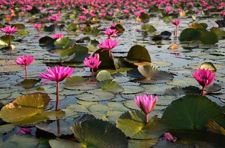 thani: The sea of pink lotus, Udon Thani, Thailand Stock Photo