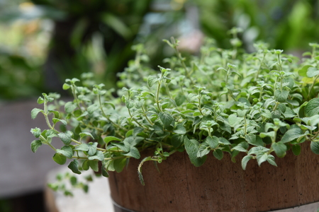 oregano plant: Oregano plant for background
