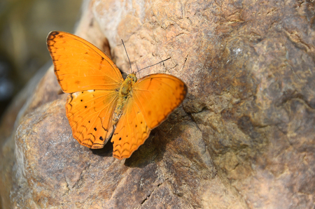 Orange Large yeoman butterfly on floor, Nature in thailand photo