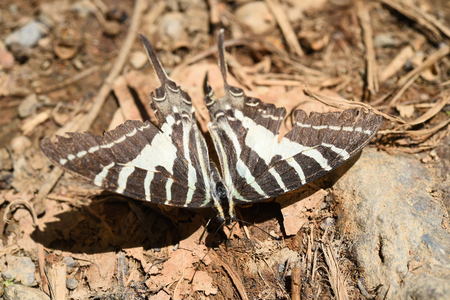 A zebra swallowtail butterfly on ground, Nature in thailand photo