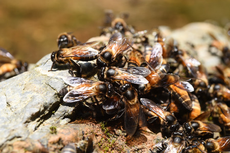 pollinators: Group of bees on the ground