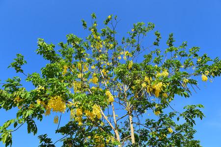 the drumstick tree: Flower Ratchaphruek on clear blue sky.
