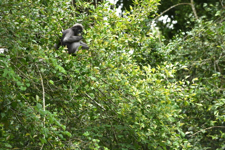 wilds: Dusky leaf monkey Spectacled langur Trachypithecus obscurus in nature