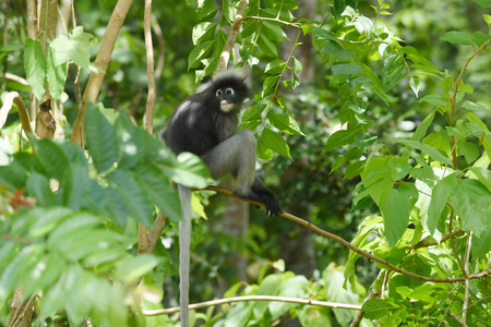 spectacled: Dusky leaf monkey Spectacled langur Trachypithecus obscurus in nature