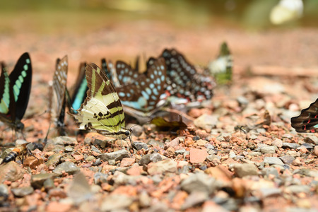 milkweed butterfly: Butterfly on the ground Nature in thailand Stock Photo
