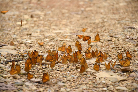 Orange Large yeoman butterfly on floor Nature in thailand photo