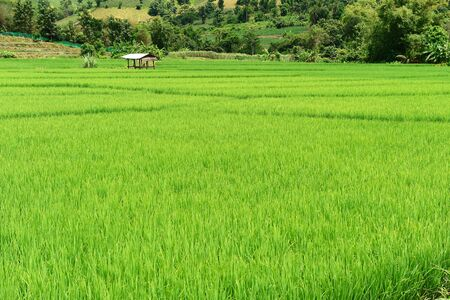 green fields: Green rice fields in Thailand.