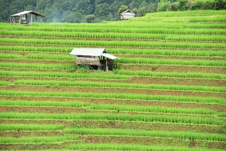 terraced: Green Terraced Rice Field in Chiangmai, Thailand