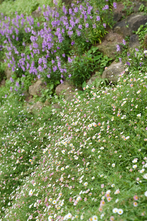 medow: Summer or spring beautiful garden with daisy flowers