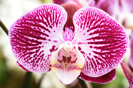 orchid: Beautiful purple orchid in the garden