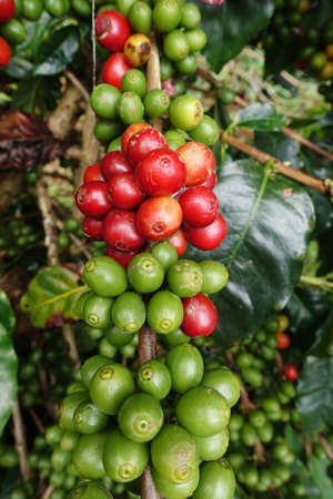 crop: Coffee beans ripening on a tree. Stock Photo