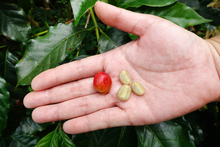 unpicked: Fresh coffee bean from coffee cherry. Stock Photo