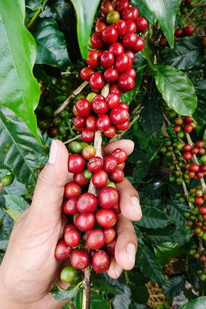 arbol de cafe: granos maduros listos para la cosecha en un árbol de café Foto de archivo