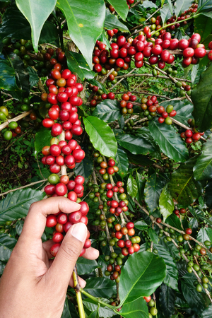 coffee harvest: Ripe beans ready for harvest on a coffee tree