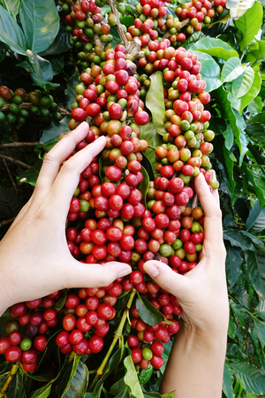 agriculturist: Close up of red berries coffee beans on agriculturist hand