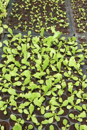 botanical farms: Seedlings on the vegetable tray