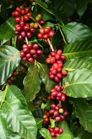 Coffee beans ripening on a tree. Standard-Bild