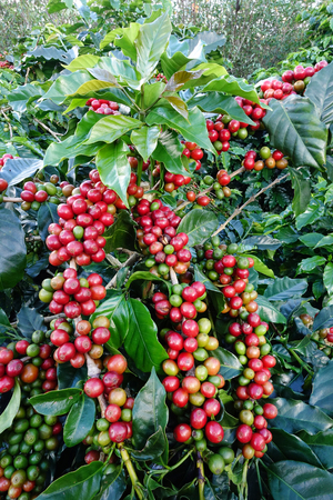 unpicked: Coffee beans ripening on a tree. Stock Photo